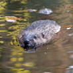 Beaver (Castor fiber) — Stock Photo
