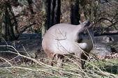 Eine weibliche tapir isst branch. — Stockfoto