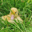 Duckling — Stock Photo #4001186