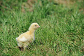 Chick and green grass — Stock Photo