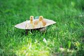 毛绒绒的小鸭 — 图库照片