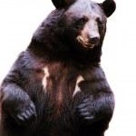 Black bear — Stock Photo #4166280