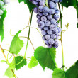 Cluster fresh grape — Stock Photo
