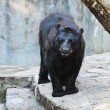Black bear — Stock Photo #4340533