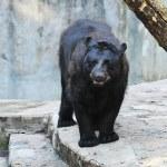 Black bear — Stock Photo