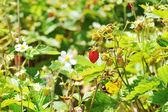 Bush de fresa — Foto de Stock
