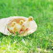 Fluffy ducklings — Stock Photo #4440852