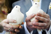 Pair of doves — Stock Photo