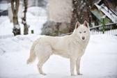 Big dog — Stock Photo