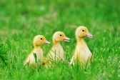 Small ducklings green grass — Stock Photo