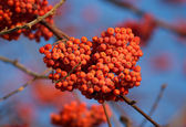 Rowan berries bunch on tree branch close-up — Stock Photo