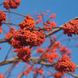 Many Red Rowan berries bunchs on tree branch - Stock Photo