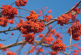 Many Red Rowan berries bunchs on tree branch — Stockfoto