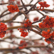 Stock Photo: Red rowberries on frozen tree