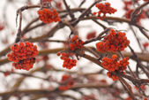 Red rowan berries on frozen tree — Stock Photo