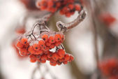 Frozen rowan berry bunch closeup — Stock Photo