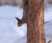 Braunes eichhörnchen schaut aus kiefer-stamm — Stockfoto