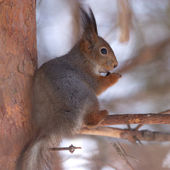 Brown squirrel eating nut on pine branch in winter forest — Stock fotografie