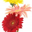 Colorful gerberas — Stock Photo