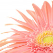 Pink gerbera close-up — Stock Photo #4655951