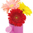 Watering can with gerberas — Stock Photo