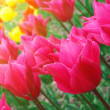 Royalty-Free Stock Photo: Colorful tulips in sunshine