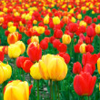 Red and yellow tulips — Stock Photo #5095238
