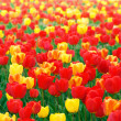 Stock Photo: Red and yellow tulips
