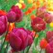 Colorful tulips in sunshine — Stock Photo #5114390