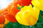 Red and yellow tulips in sunshine — Stock Photo