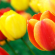 Red and yellow tulips — Stock Photo #5134690