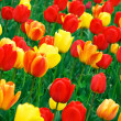 Red and yellow tulips — Stock Photo #5134703