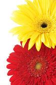 Colorful gerberas close-up — Stock Photo