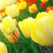 Yellow tulips in sunshine - 图库照片