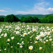 Camomiles in field - Stock Photo
