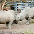 Rhino rhinos — Stock Photo