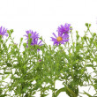 Stock Photo: Border from violet chrysanthemums