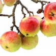 Stock Photo: Real apples on branch isolated