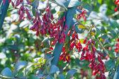 Piccoli frutti rossi maturi di una crespino — Foto Stock
