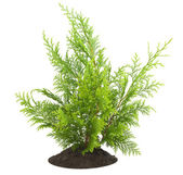 Young sapling, sprout a thuja — Stock Photo