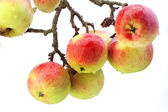 Real apples on a branch isolated — Stock Photo