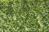 Evergreen bitki mazı ve güneşli bir gün — Stok fotoğraf