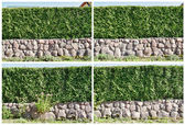 Four fragment of a hedge — Stock Photo