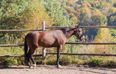 Bay horse against autumn wood — ストック写真