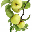 Real green apples on a branch with leaves — Stock Photo