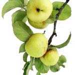 Real verde mele su un ramo con foglie — Foto Stock #4270368