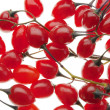 Red poisonous berries of the Nightshade — Stock Photo