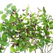 "Bush of ""Rhamnus frangula"" isolated - Stock Photo"