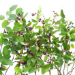 Bush of &quot;Rhamnus frangula&quot; isolated - Stock Photo