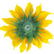 Backside of sunflower isolated — Stock Photo